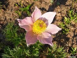 Znalezione obrazy dla zapytania sasanka wiosenna