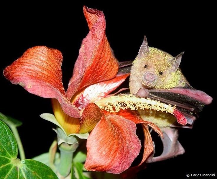 """""""Our bat pollinators are extremely important...and adorable!"""" via Bat Conservation International"""