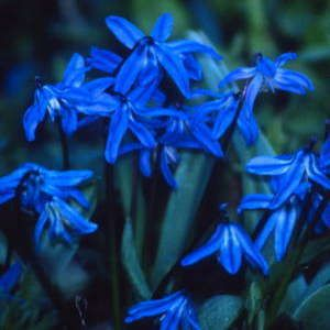 Scilla - siberica 'Spring Beauty' -  Bulbs for sale