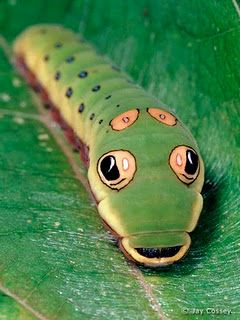 Spicebush Swallowtail Caterpillar - When the larvae are nearly ready to pupate, they turn a yellow-green color marked by two large black dots with a white highlight. The placement of these dots creates the illusion that the caterpillars are common green snakes which help the caterpillars to ward off predators, specifically birds. (image credit Jay Cossey)
