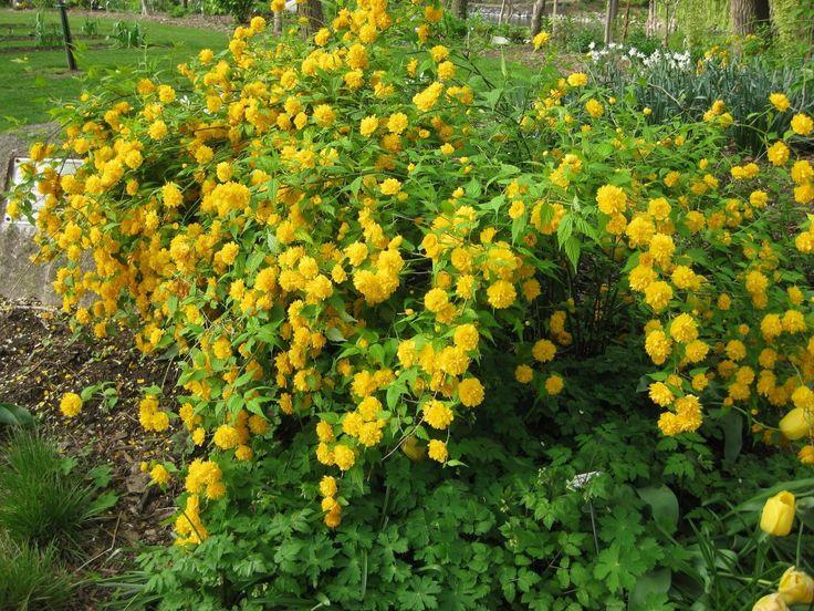 кустарник с желтыми цветами название и фото отдыхал
