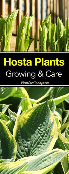 Perennial favorite hosta plants with their easy care and lush foliage make them perfect plants for a low maintenance garden. [LEARN MORE]