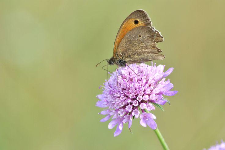 Farfalla leggera su fiore