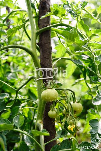 "Download the royalty-free photo ""Fresh bio tomatoes growing in the garden"" created by stillforstyle at the lowest price on Fotolia.com. Browse our cheap image bank online to find the perfect stock photo for your marketing projects!"