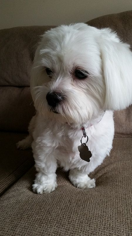 maltese dogs haircuts 73 best coton de tulear madagascar images on 5725