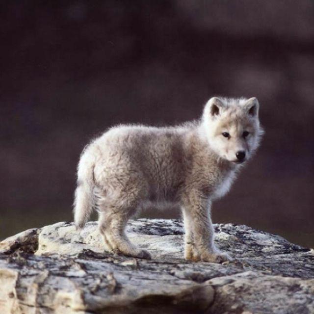 Baby wolf!