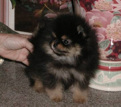 pomeranian puppies for sale in michigan ebay pomeranian inland empire pomeranian dogs puppies for 9809