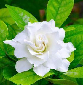 Cómo cuidar las gardenias