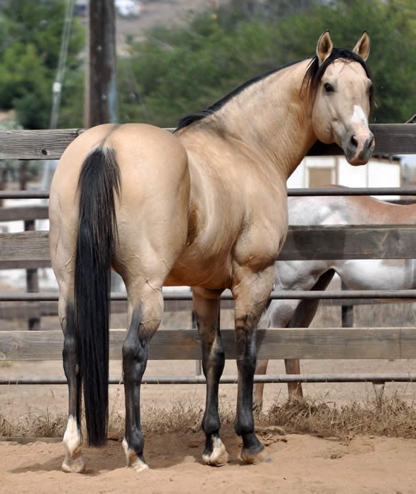 SBR Formula One, a Dunskin AQHA stallion. Dunskin is ...