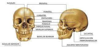 Huesos del cráneo, vista frontal y lateral.