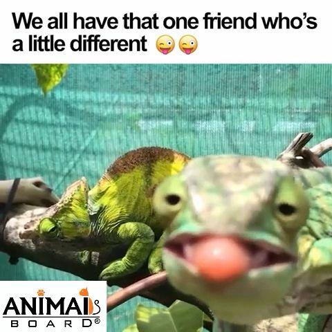 Naughty chameleon 😆