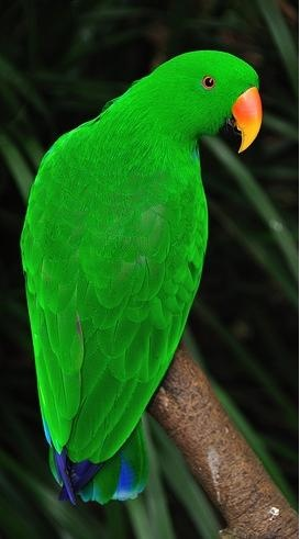 Eclectus parrot - found in Northern Queensland... this is a male. The female has bright red and purple plumage.