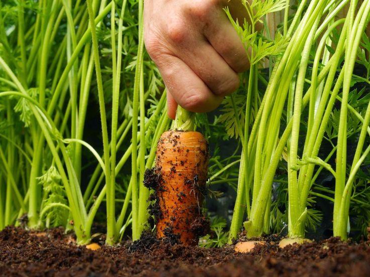 Как вырастить крупную и сладкую морковь? Приёмы, агротехника, советы и секреты. Фото - Ботаничка.ru