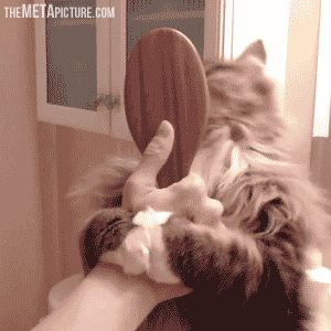 Who needs to brush the cat, when you can just cat the brush…GIF