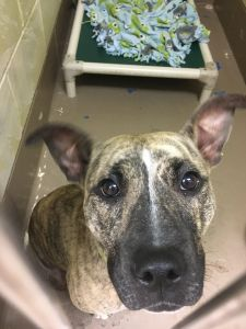 Panama City, FL - Meet Skittles, Female, Spayed, 1 yr old, Bulldog Mix - Tan/Black/Brindle, 35 lbs, looking for a forever home. She is LOCATED at the Humane Society of Bay County, Panama City, FL