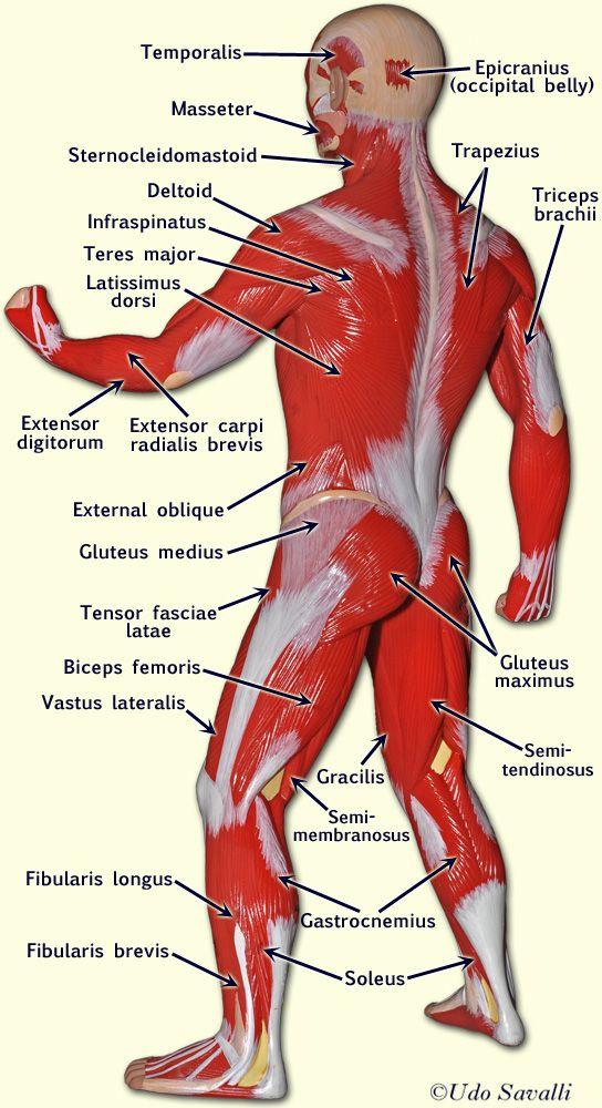 muscle man  Average Hu...