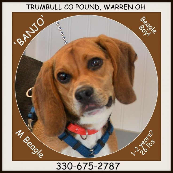 Meet Banjo IN FOSTER TO ADOPT, an adoptable Beagle looking for a forever home. If you're looking for a new pet to adopt or want information on how to get involved with adoptable pets, Petfinder.com is a great resource.