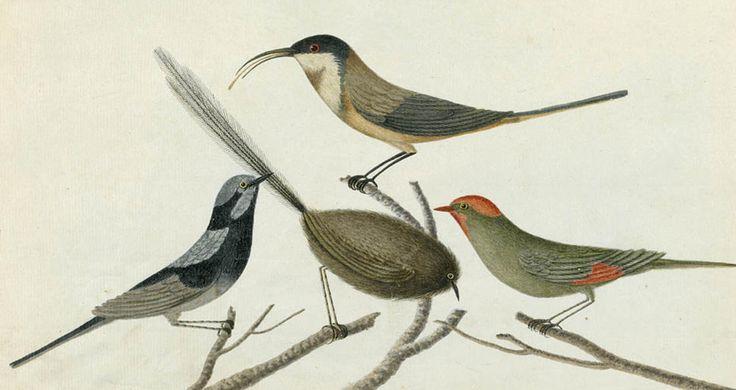 Sparrow, Tom Tit, Fan Tail & Ant Killer [red-browed finch; superb fairy wren; southern emu-wren; eastern spinebill or honeyeater]
