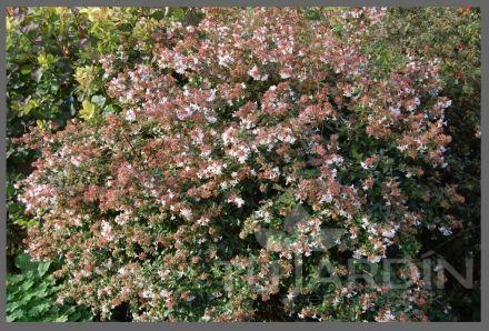abelia grandiflora cordoba cordoba - Buscar con Google