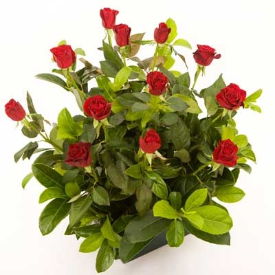 """Boxed Rose Arrangement  """"Boxed Love"""" - A beautiful arrangement of twelve red roses and greenery, cushioned with tissue paper and finished with ribbon."""