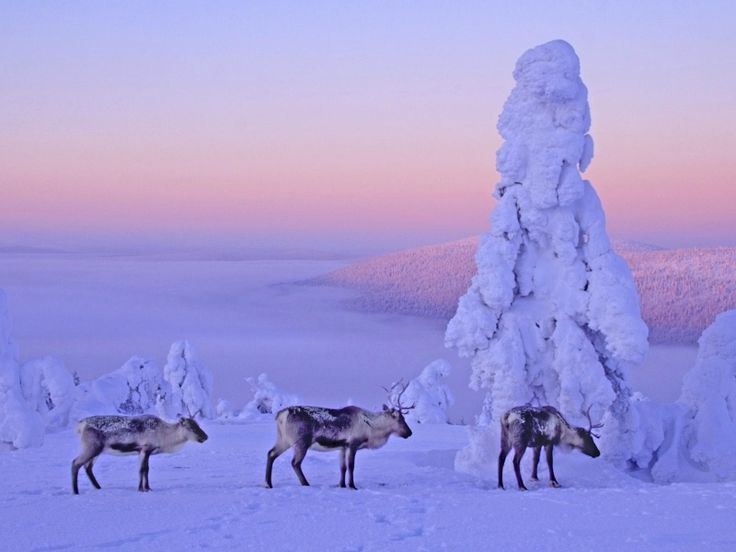 Reindeer in northern Finland. This animal is an icon of Finnish Lapland.