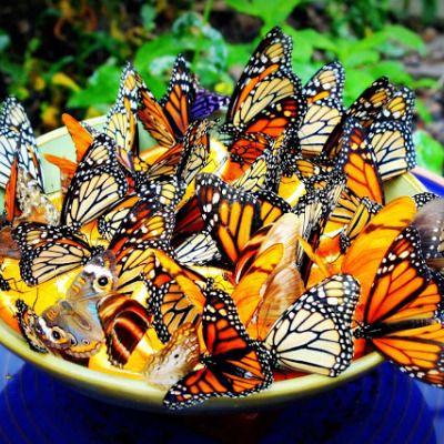 1 parte de azúcar x cuatro de agua, para empapar la esponja. Usar recipiente de color vivo (amarillo?) y decorar con flores u ojas articifiales (o no) How To Make a Butterfly Feeder, DIY
