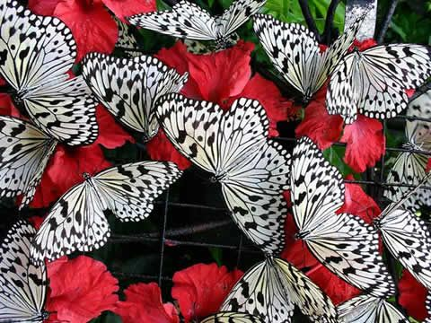 .: Butterfly, Black Butterflies, Black And White, Color, Butterflies Red, Black White, Black Art, Red White Black, Animal