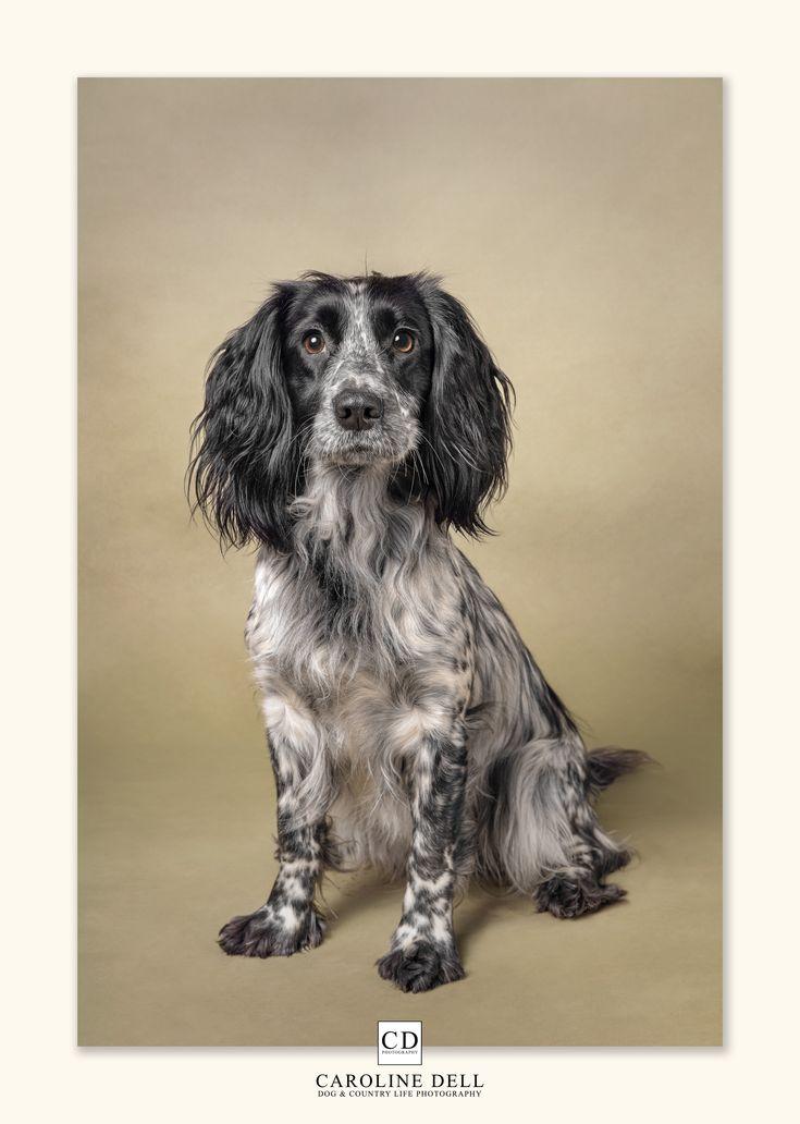 Dottie the Blue Roan Cocker. in 2020 Dog photography