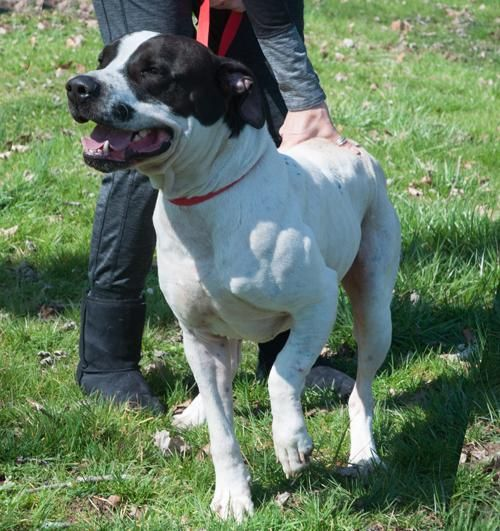 Rufus is approximately 3 years old, and 65 lbs. was abandoned; left in the home for a about a month. He's friendly and enjoys walks and attention. Has a deformity to his front left leg, possibly from birth. We will have an xray done to confirm..