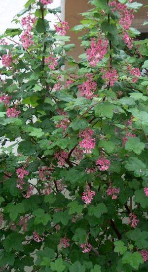NIET GEHAALD VERDRONKEN RIBES SANGUINEUM bloeit maart tot begin juni. bloemen doordringende geur kattenpis alle gronden, iets vocht houdend  halfschaduw.  Snoeien winterharde, bladverliezende op tweejarig hout bloeit Snoeien na bloei. één van de drie oude grond weg. Herhaal  ieder jaar. Jonge uitlopers bloei het jaar daarop.  verjongingssnoei midden winter verjongingssnoei alle takken tot dertig centimeter grond
