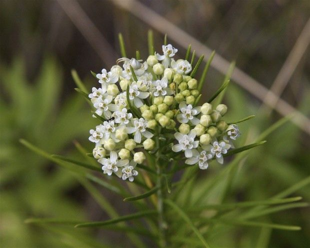 Whorled Milkweed, perennial, 1-3', blooms May to September.  Dry soil, Sun/moderately shade tolerant, attracts butterflies.