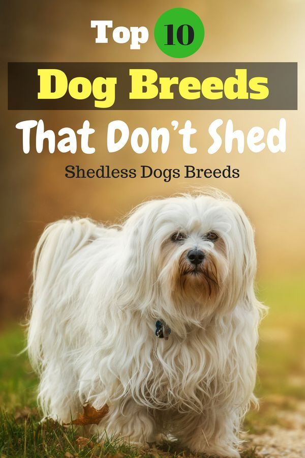 Top 10 Dog Breeds That Don T Shed Cute Dogs That Dont Shed Dog Breeds That Dont Shed Small Medium Dog Breeds Family Dogs Breeds