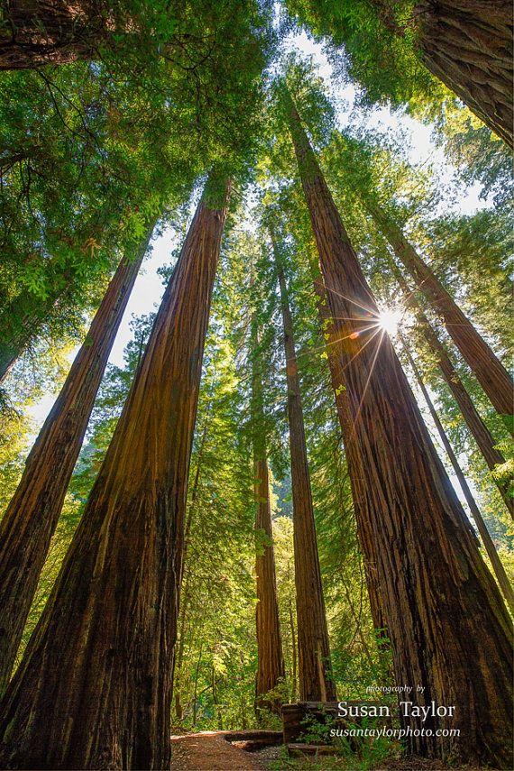 California Redwood Print Large Coastal Tree Photo Rustic Art Susan Taylor Pacific Northwest