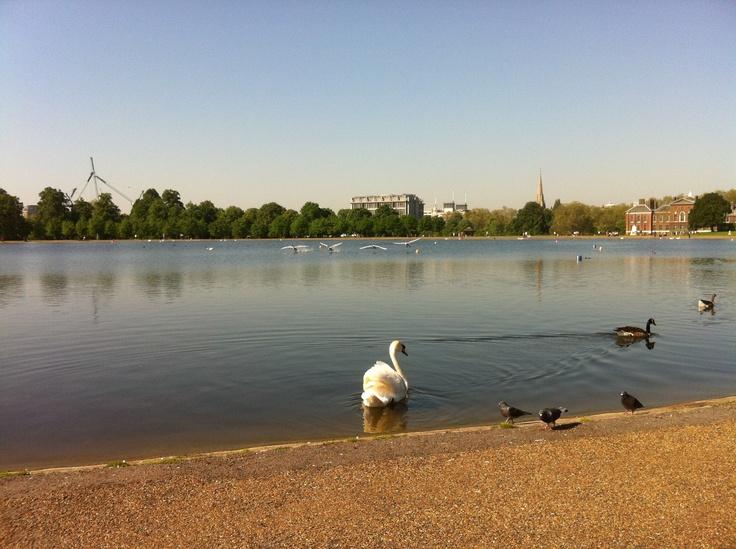 Four swans going down in Kensington Gardens.