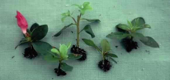 Rooting Rhododendron and Azalea Cuttings