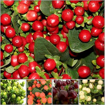 Hypericum FloralBerry series from Monrovia a great easy to grow small landscape shrub also wonderful for cut bouquet material
