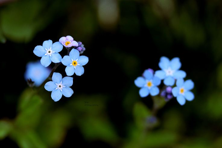 Blue flowers ♥   by Siniirr