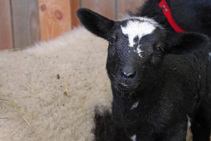 lamb  By Laura Kelsey - wordsmore.com
