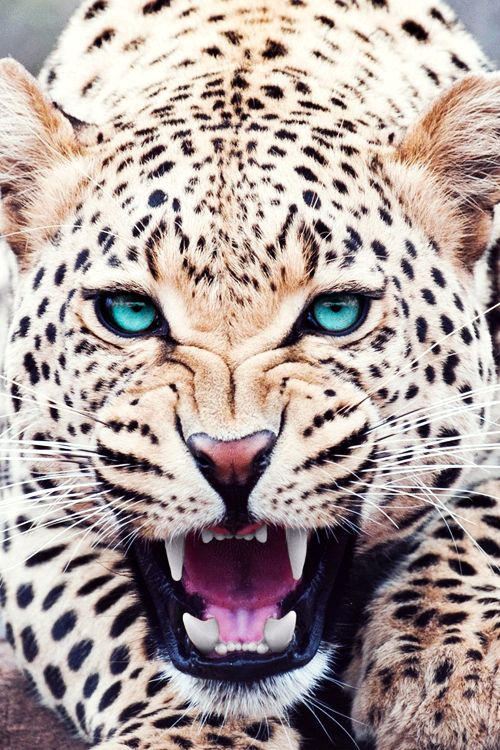 Isn't the Lord's creation just magnificent!?!? He created this beautiful leopard! Look at the detail and the blue eyes!! He is amazing! The Lord God created everything you see, hear, touch, smell, etc...