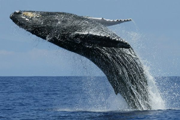Sri Lanka is the perfect place for whale watching as it is situated very close to natural migration routes