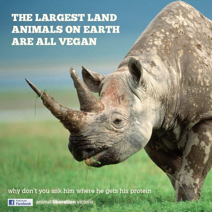 Many of the largest and strongest animals on earth are vegan (Buffalo, Gorillas, Bison, Baboons, Hippos, Rhinos, Elephants, Cassowaries, Peccaries, Wild Boar, et cetera).  Why don't you ask them where they get their protein?