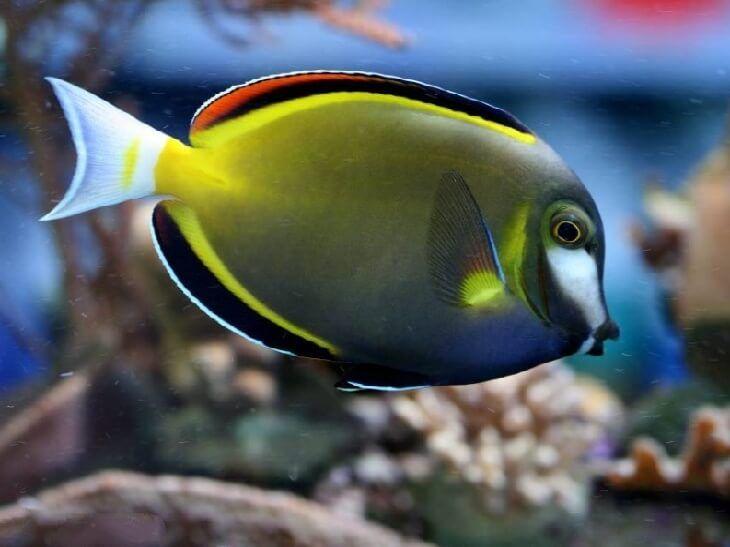 ХИРУРГ ЯПОНСКИЙ (Acanthurus japonicus) » Домашний аквариум