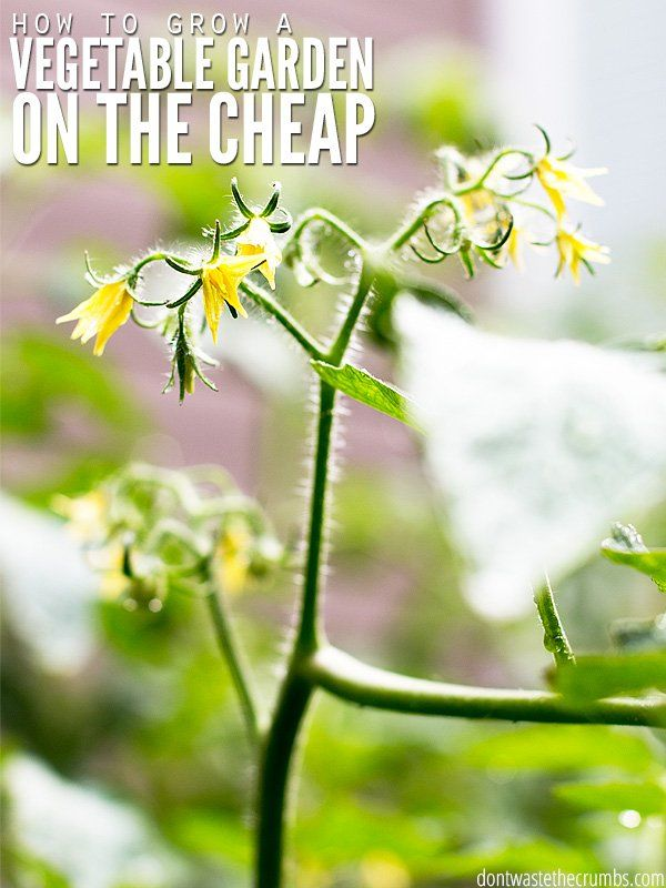 How a beginner's summer vegetable garden started from seed, almost died (twice) and is now flourishing using neem oil to control pests naturally. :: DontWastetheCrumbs.com