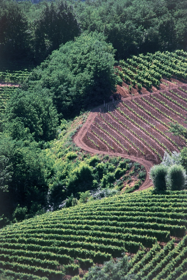 Vigneti    Vineyards