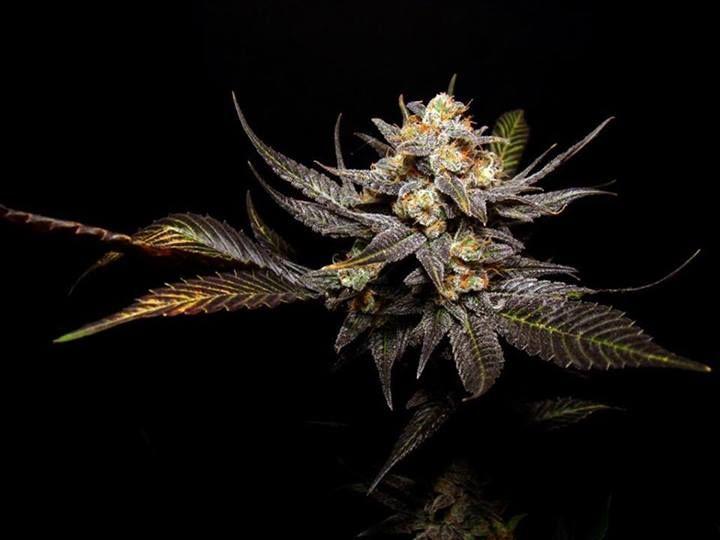 Breeders Choice Organisation, artisan cannabis seed breeders