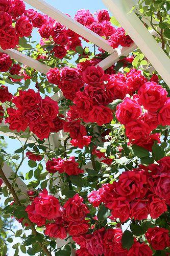 Climbing roses | Flickr