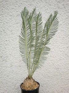 encephalartos.ghellinckii