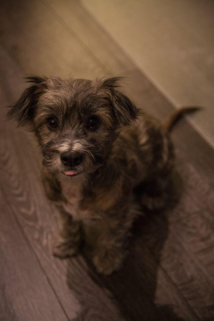 Luna Poodle & Chihuahua mix | Pawshake