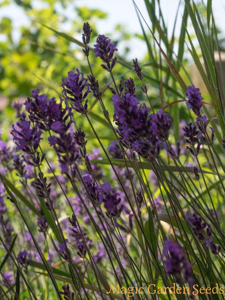 Der Echte Lavendel (Lavandula angustifolia) wächst als niedriger Strauch.