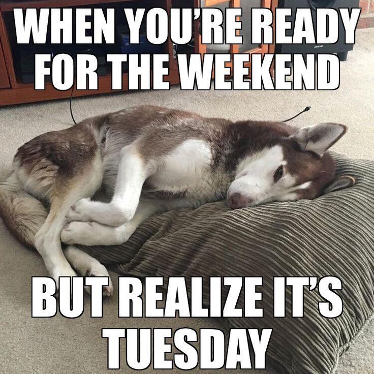 Is It Friday Yet Funny Husky Meme Funny Husky Quote Husky Funny Funnyhusky The Post Is It Friday Yet A Husky Funny Husky Memes Siberian Husky Funny